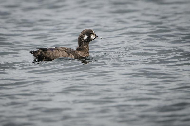 Harlequin Ducks at Cattlepoint