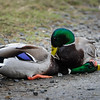 Mallards can be nasty