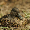 Mallard on her nest