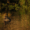 Ring-necked Duck well camoflaged
