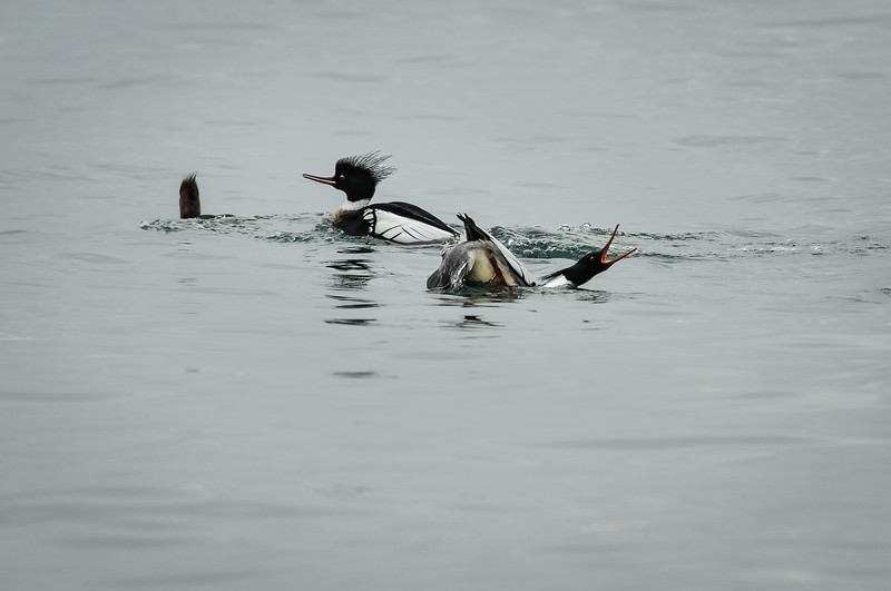 Red-breasted Merganser courting ritual
