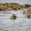 Harlequin Ducks at Cattlepoint
