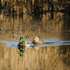 Mallard Reflections at Rithet's Bog