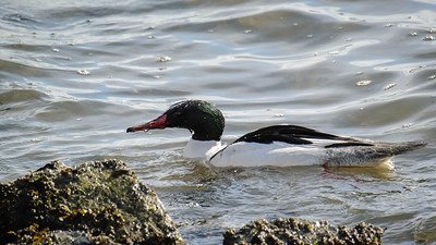 Common Merganser watching for a meal