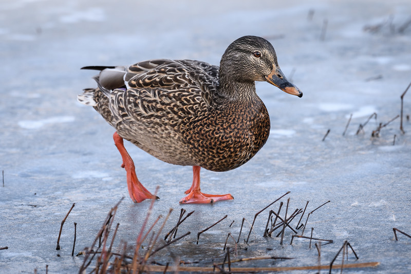 Slippery walking for this Mallard