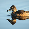 Swan Lake Reflections - a Ring-necked Duck
