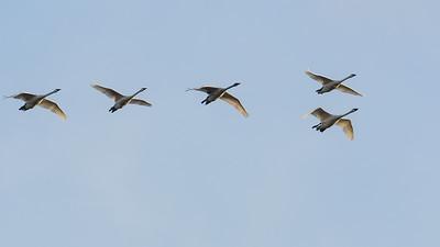 Trumpeter Swans flying over Rithet's Bog