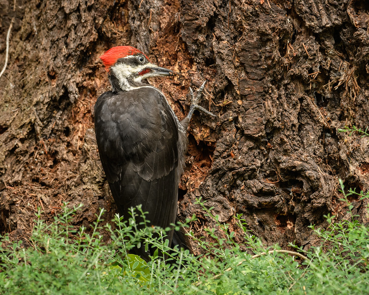 Pileated Woodpecker digging holes near the bottom of our Douglas Fir.