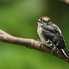 Young Downy Woodpecker