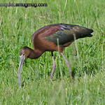 White-faced Ibis - near Idaho Falls, Id. Taken in June.