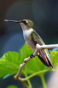 Ruby throated hummingbird, Houston