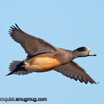 American Wigeon - taken near Olympia, Wa.<br /> <br /> I really appreciate the comments!
