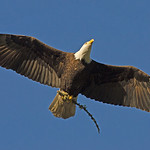 Bald Eagle - bringing a stick back for the nest.