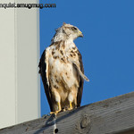 Unknown hawk - I took these pictures near Boise, Idaho Birds of Prey area this summer. I'm wondering if this is an immature Red-shouldered or Broadwinged Hawk but i really don't know. Any suggestions would be appreciated.