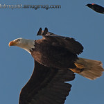 American Bald Eagle - being harrassed by a Red-winged Blackbird.