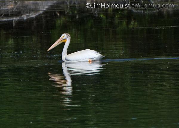 White Pelican - near Idaho Falls, Id
