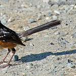 Western Spotted Towhee - near Olympia, Wa. Taken in August 2013.