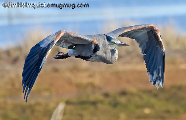 Great Blue Heron - Nisqually Wildlife Refuge near Olympia, Wa.