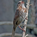 Song Sparrow - near Olympia, Wa.