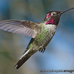 Anna's Hummingbird - blinking at 1/8000 near Olympia, Wa