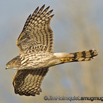 Immature Cooper's Hawk - Nisqually Wildlife Refuge near Olympia, Wa.<br /> <br /> I probably won't be able to post regularly this week.
