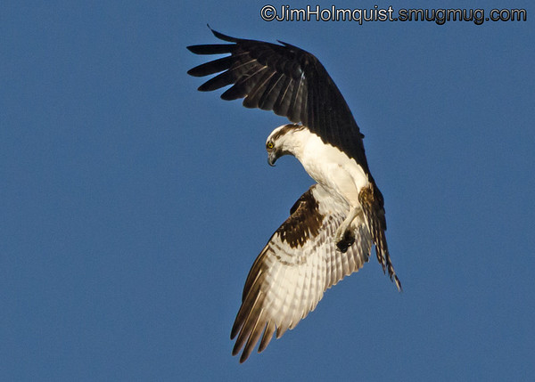 Osprey looking for fish near Olympia, Wa