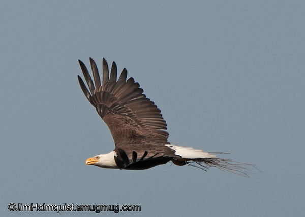 American Bald Eagle - with nesting materials.