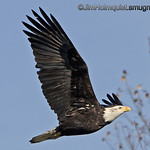 American Bald Eagle - near Olympia, Wa. <br /> <br /> Merry Christmas everyone!