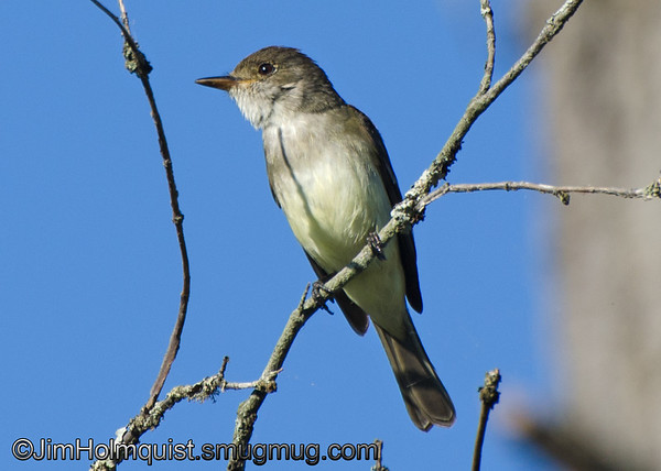 Pacific-slope Flycatcher - near Olympia, Wa