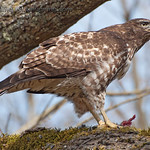 Red-Tailed Hawk - Lunch time at Nisqually Wildlife Refuge near Olympia, Wa
