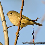 Ruby-crowned Kinglet - near Olympia, Wa.