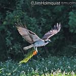 Osprey catching a fish near Olympia, Wa