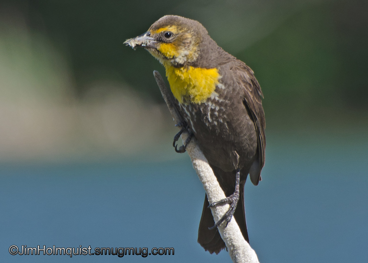 """""""B"""" is for Blackbird<br /> <br /> Yellow-Headed Blackbird - with a tasty mouth full of insects"""