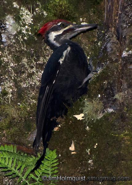 Pileated Woodpecker - taken in a park near Olympia, Wa.