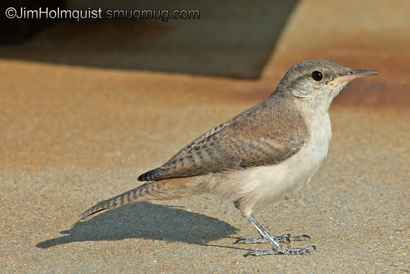 Curious Rock Wren - came over to see what I was up to. These wren are quite bold. Taken at Snake River Birds of Prey area.