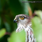 Juvenile Sharp-shinned Hawk - near Olympia, Wa. Taken in 2011.