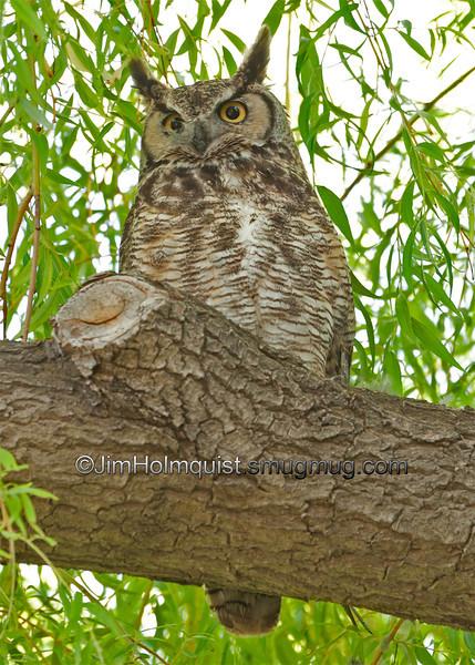Great Horned Owl - taken near Idaho Falls, ID in 2011.