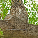 Great Horned Owl - taken near Idaho Falls, ID in 2011.