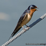 Barn Swallow - near Idaho Falls, Id
