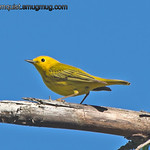 Yellow Warbler - near Olympia, Wa.