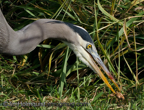 Great Blue Heron - close-up of the frog he caught in my previous Heron shot.