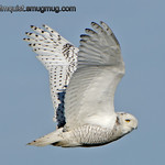 Snowy Owl - near Ocean Shores, Wa. Taken in 2013.<br /> <br /> I've been busy with other activities lately so I haven't had much time for photography but hopefully that will improve over the next few months.