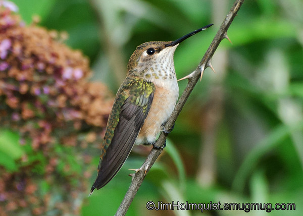 Rufous Hummingbird - near Olympia, Wa. Taken in 2012.<br /> <br /> Update: i was thinking this is an immature male rufous before he turns brown or a female rufous because of the brown on the side of the chest. I could be wrong though.