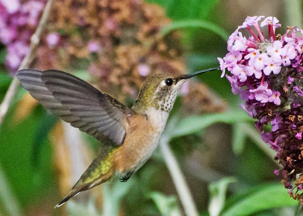Rufous Hummingbird hovering at flower near Olympia, Wa