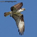 Osprey - looking for fish near Olympia, Wa