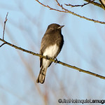 Black Phoebe - taken near Olympia, Wa.