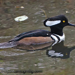Hooded Merganser - Nisqually Wildlife Refuge near Olympia, Wa.
