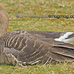 Greater White-fronted Goose - taken near Olympia, Wa.
