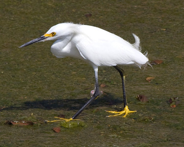 Snowy egret in Brays Bayou
