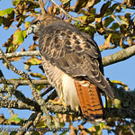 Red-Tailed Hawk - taken at Nisqually Wildlife Refuge near Olympia, Wa.
